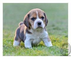 Want to sell my beagle dog at lesser price