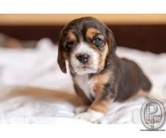 Are You Thinking of Adding a Beagle to Your Family?