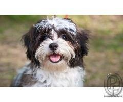 shih tzu puppy are best to take your home