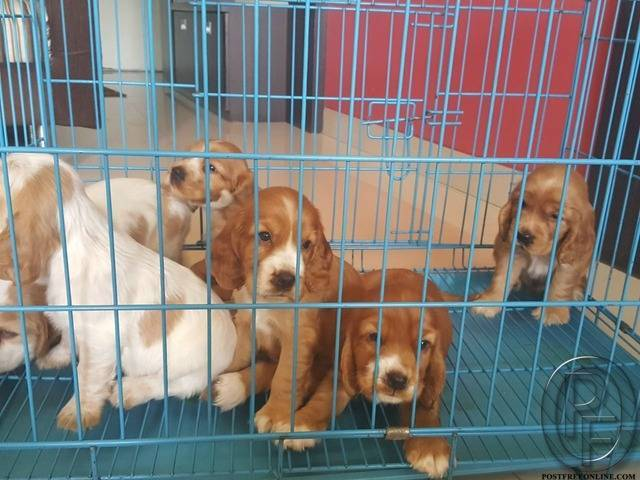 Cocker Spaniel Puppies For Sale in Mumbai, Maharashtra, India in Pet  Animals And Accessories category under budget 22000.00 INR ₹