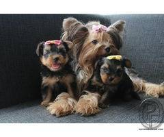 Yorkshire Terrier is one of the most glamorous representatives of the dog world