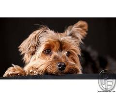 Yorkshire Terriers: the most honest dog breed review you'll ever find about Yorkshire Terrier
