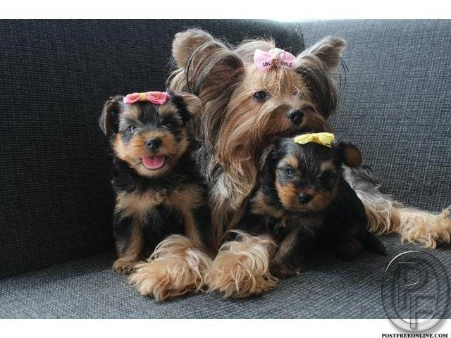 8b6c423afe Yorkshire Terriers  the most honest dog breed review you ll ever find about  Yorkshire Terrier in Mumbai