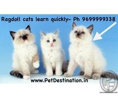 Ragdoll cats learn quickly and follow their people from room to room - 9699999338