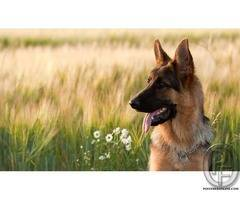 Quick Facts about German Shepherd dog