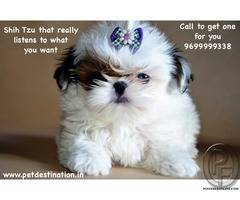 Shih Tzu that really listens to what you want | Call to get one for you 9699999338