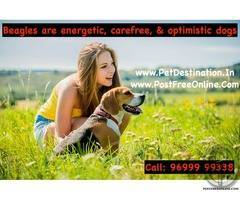 Beagles are energetic, carefree, and optimistic dogs | Call 96999 99338