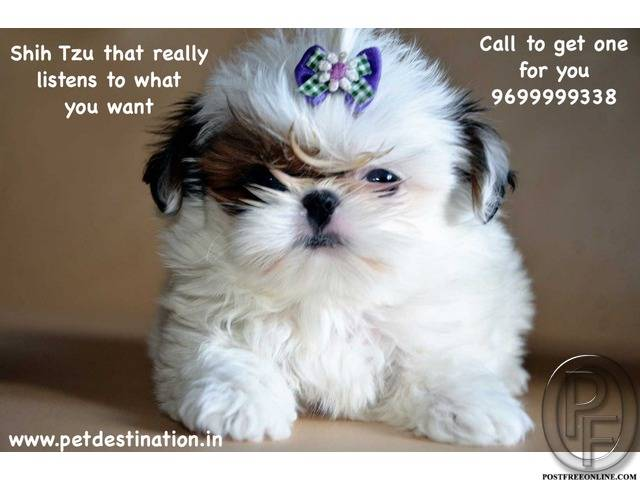 Shih tzu puppy characteristics | Call 9699999338 to get for