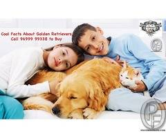Cool Facts About Golden Retrievers | Call 96999 99338 to Buy