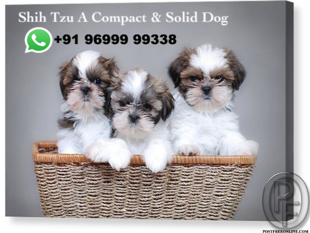Shih Tzu is A ***pact and solid dog | Call +9196999 99338 in