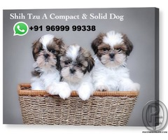 Shih Tzu is A compact and solid dog | Call +9196999 99338
