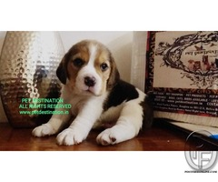 Beagle puppy for sale, all papers clear, cage with toilet tray and 1 month food supply included !