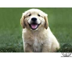 Golden Retriver puppy available