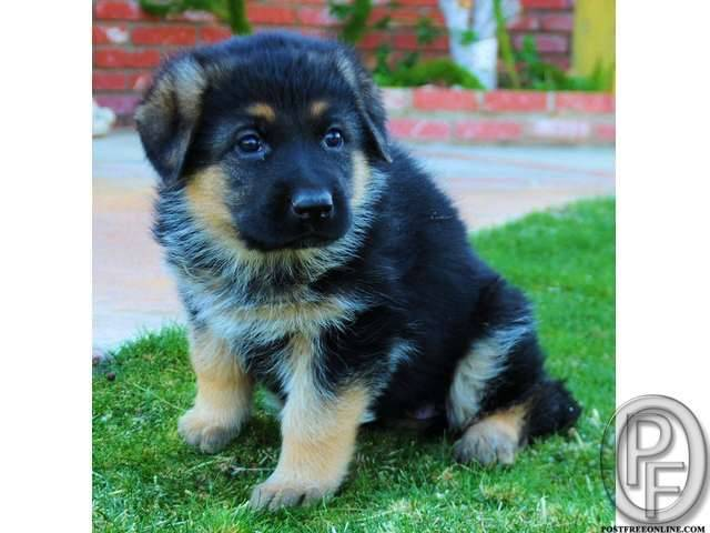 German shepherd puppies available with us in Mumbai