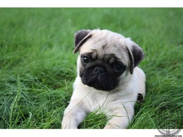 pug puppies for sale in india and mumbai in mumbai  maharashtra  india in pet animals and
