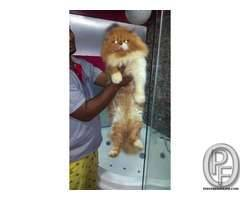 ADULT PROVEN MALE CAT AVAILABLE 7666666299