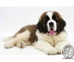 Saint Bernard dog puppies available