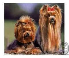 Yorkshire terrier puppies available in india