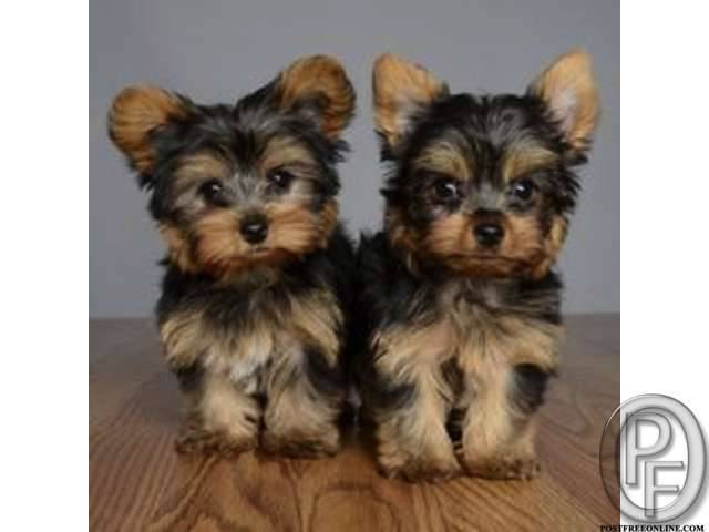 85880999ea Yorkshire terrier puppies available in india in Mumbai