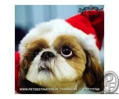 SHIHTZU puppies available  +918767777789