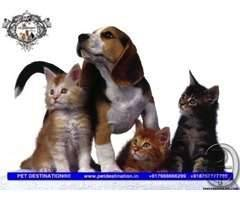 BEAGLE PUPPIES AVAILABLE JUST CALL +918767777789