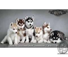 SIBERIAN HUSKY PUPS AVAILABLE ONLY WITH PET DESTINATION +917666666299