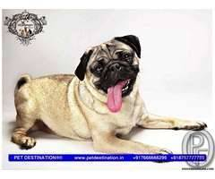 VODAFONE PUG PUPS ARE AVAILABLE ONLY WITH PET DESTINATION +917666666299