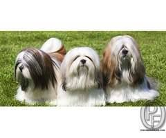 LHASA APSO AVAILABLE WITH US +917666666299