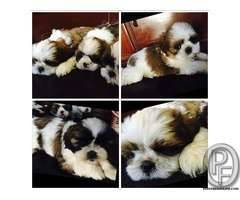 SHIHTZU PUPS FOR SALE WITH US +917666666299