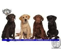 CHOCOLATE LAB AVAILABLE WITH US 7666666299