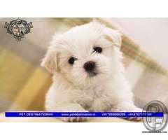MALTESE AVAILABLE WITH US 7666666299