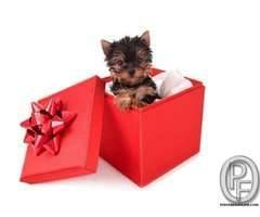 YORKSHIRE TERRIER AVAILABLE WITH US 7666666299