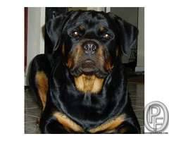 Rottweiler pup AVAILABLE WITH US 7666666299