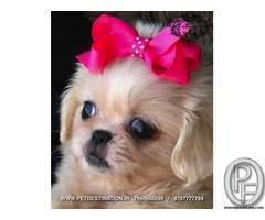 PEKINGESE PUPS ARE AVAILABLE ONLY WITH PET DESTINATION +917666666299