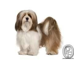 Lhasa dog puppies available