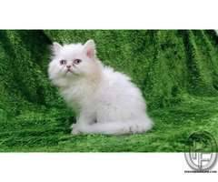 Pure breed Persian kitten